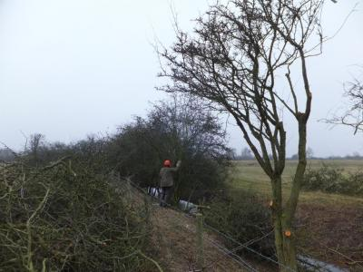 Hedgelaying in action